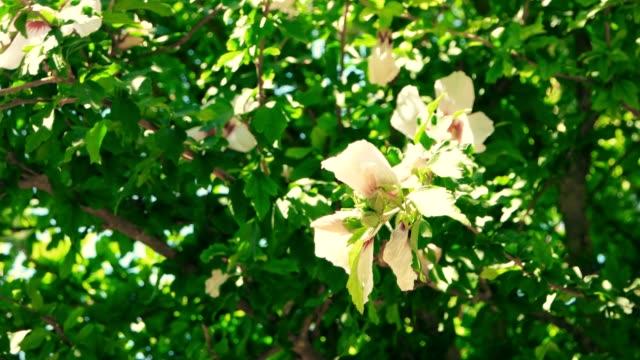 Big tropical Flowers Big tropical Flowers On Bush madagascar stock videos & royalty-free footage