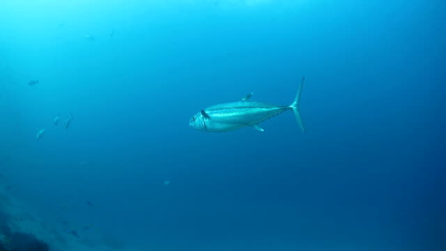 Big Tuna swimming under sea surface video