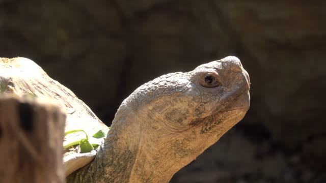 Big turtle curiously looking around Big turtle curiously looking around, 4K(UHD) 3840x2160 format giant tortoise stock videos & royalty-free footage