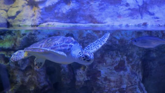 große schildkröte schwimmt unter wasser in der nähe von fischen - ichthyologie stock-videos und b-roll-filmmaterial