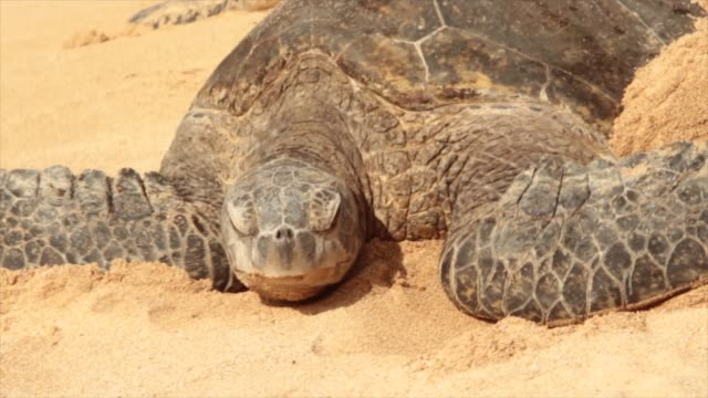 Big Turtle Big turtle trying to move on sand, gives up, falls asleep tortoise stock videos & royalty-free footage