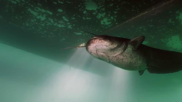 big wels catfish swimming, underwater shot - siluriformes video stock e b–roll