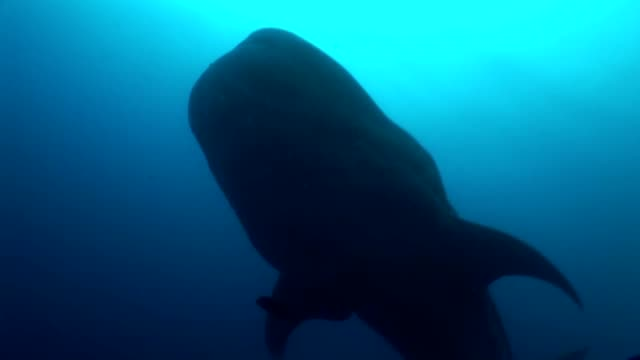 Big Whale Shark biggest fish in the world Underwater Video video
