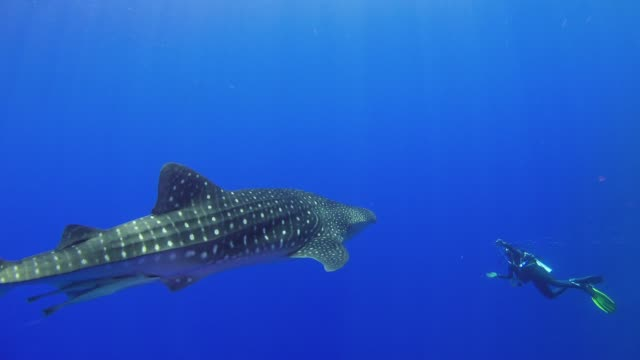Big Whale Shark Swim Near Coral Reef Big Whale Shark Swim Near Coral Reef, underwater scene scuba diving stock videos & royalty-free footage