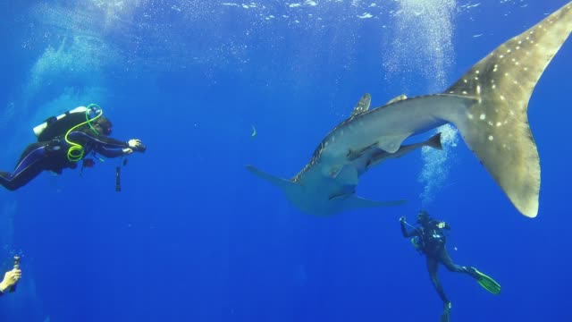 vidéos et rushes de grand requin-baleine nager près des récifs coralliens - baleine
