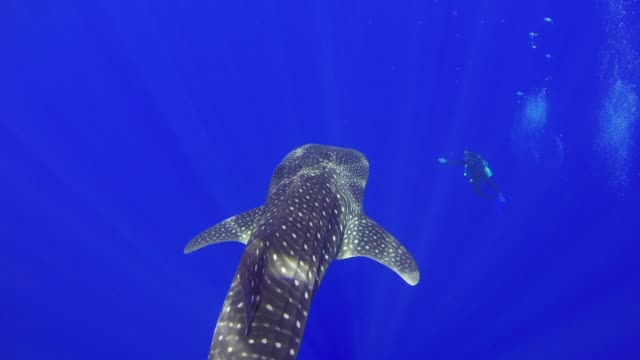 Big Whale Shark Swim Near Coral Reef Big Whale Shark Swim Near Coral Reef, underwater scene aqualung diving equipment stock videos & royalty-free footage