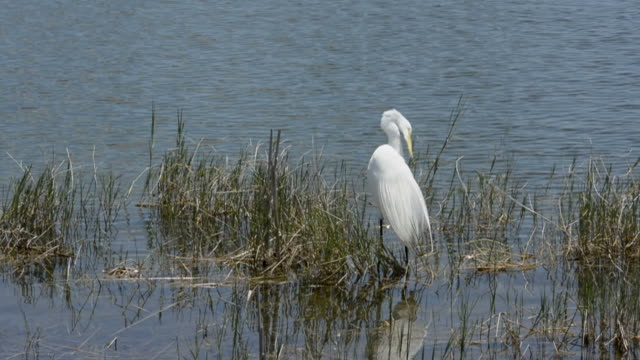 Big White Bird Preening With Copy Space video