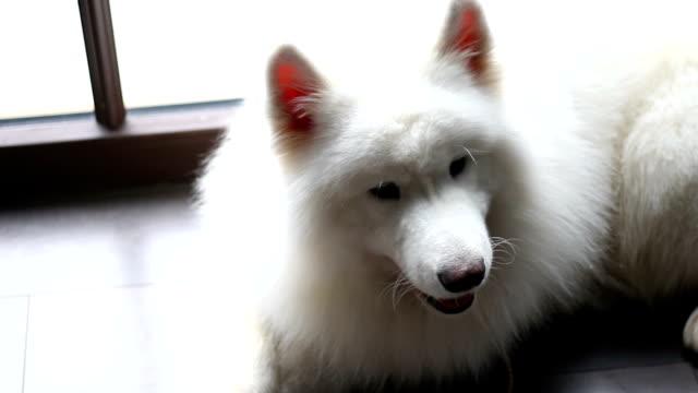 vídeos de stock e filmes b-roll de big white dog lies and shakes his head - samoiedo