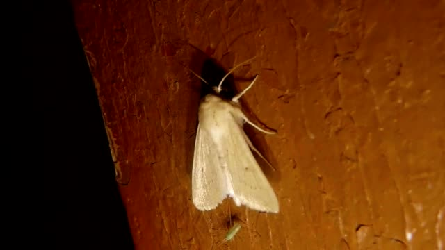 Big White Night Butterfly and Small Insect Sit on Wall Macro video