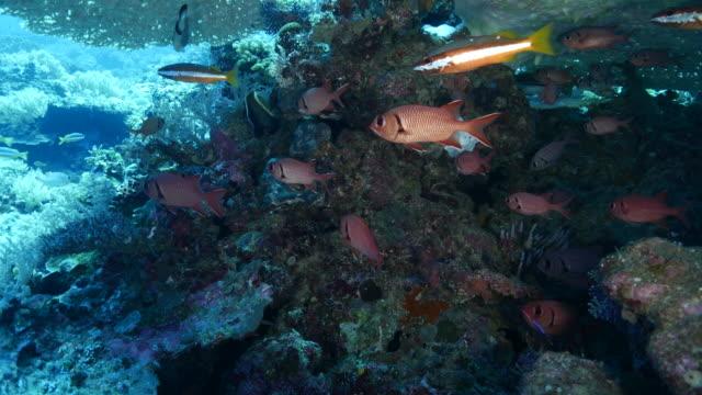 vídeos y material grabado en eventos de stock de patudo pez y pargo bandas dos-punto en coral - zona pelágica