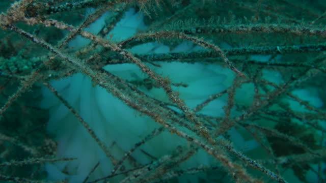 vídeos y material grabado en eventos de stock de huevo de calamar de arrecife bigfin - sea life park