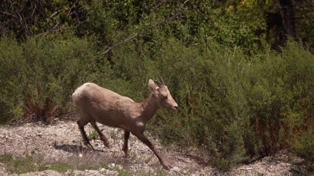 Bighorn Lamb video