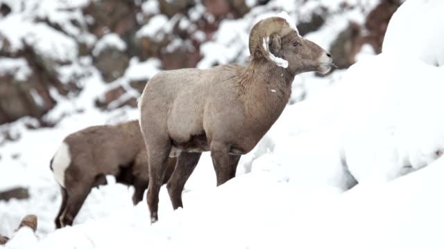 Bighorn ram herd feeding winter snow Waterton Canyon Colorado video