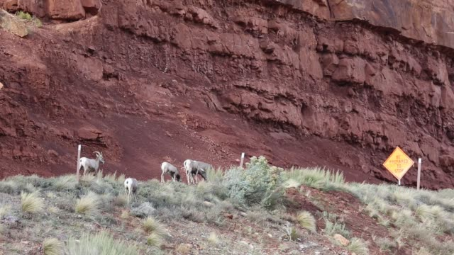 Bighorn sheep and red cliff