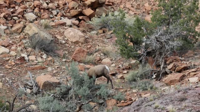 Bighorn sheep hiting bush