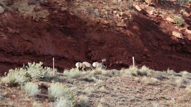 Bighorn sheep on cliff video