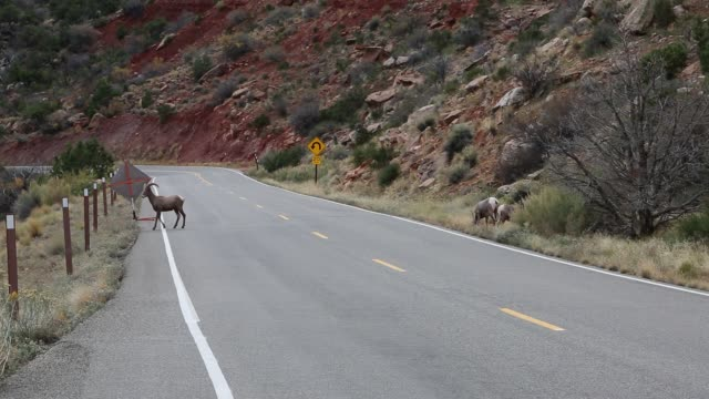 Bighorn Sheep on the road video