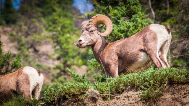 Bighorn sheep - Ovis canadensis Bighorn sheep (Ovis canadensis) ram in Jasper National Park, Alberta, Canada. extreme terrain stock videos & royalty-free footage