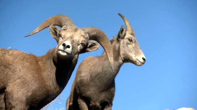 Bighorn Sheep ram and ewe. video