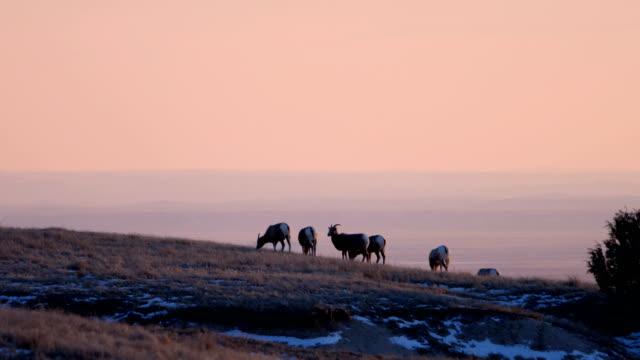 Bighorn Sheep video