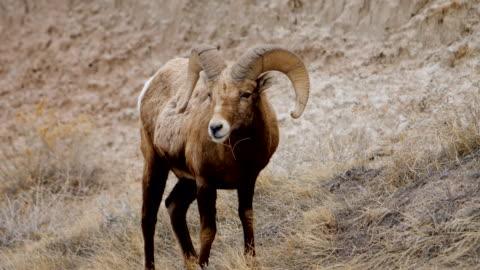 Bighorn Sheep Bighorn Sheep at Badlands NP extreme terrain stock videos & royalty-free footage