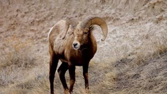 vídeos y material grabado en eventos de stock de carnero de las rocosas - terreno extremo