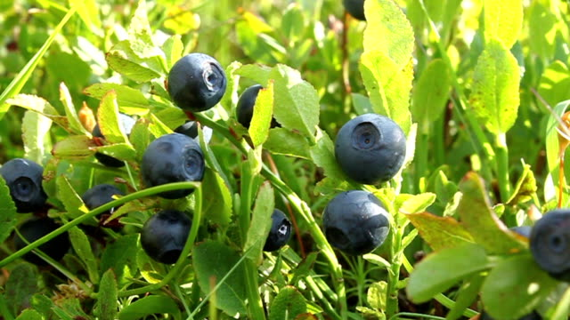 Bilberries video
