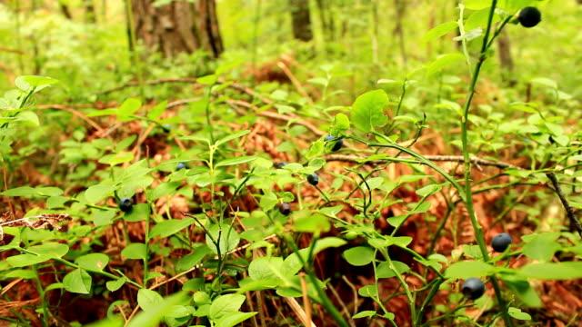 森で熟した果実とビルベリー ブッシュ - 自生点の映像素材/bロール