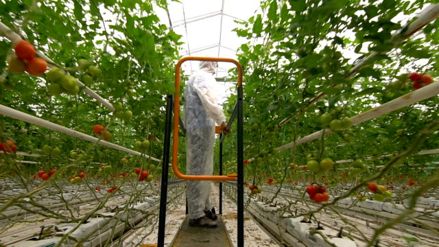 Biologist Checking Tomatoes in Greenhouse