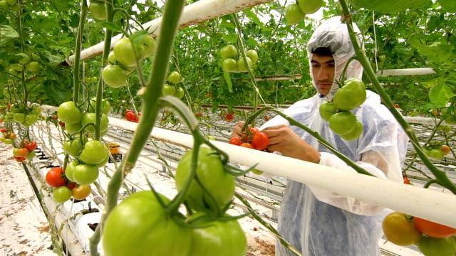 biologe prüft tomaten im gewächshaus - gewächshäuser stock-videos und b-roll-filmmaterial