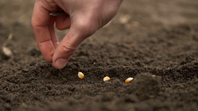 Biotechnology engineer planting corn seeds in the ground video