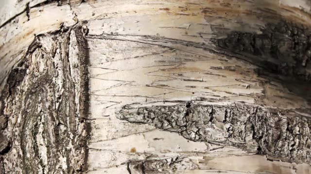 Birch bark Birch bark, nature background plant bark stock videos & royalty-free footage