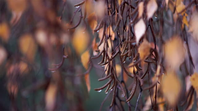 Birch branches in drops of water after the rain are swinging in the wind. video
