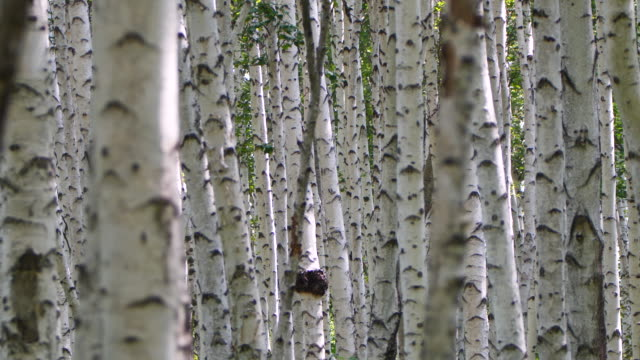 Birch forest - Khingan Nature Reserve