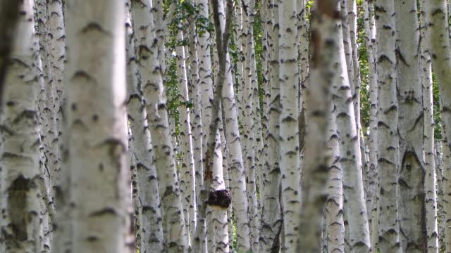 vídeos de stock, filmes e b-roll de floresta de bétula - reserva natural de khingan - bétula