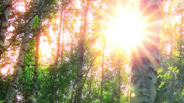birch forest. timelapse. sunset background.