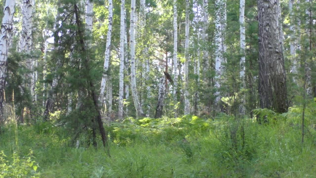 Birch forest video