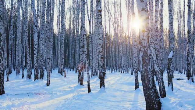 vídeos de stock, filmes e b-roll de bétula na luz do pôr do sol - bétula