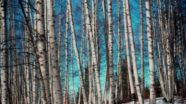 vídeos de stock, filmes e b-roll de birch grove no inverno-vídeo stock - bétula