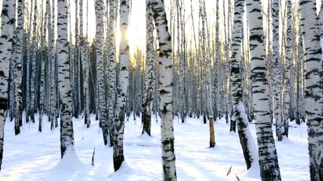 Birch grove in winter sunrise video