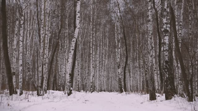 vídeos de stock, filmes e b-roll de bosque do vidoeiro no inverno - bétula