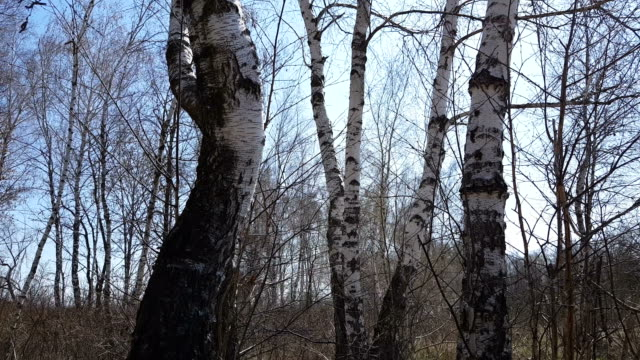 Birch grove. Nature background. Sunny spring day. video
