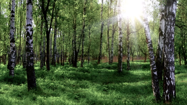 Birch grove panoramic landscape video