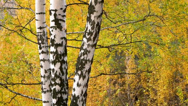 vídeos de stock, filmes e b-roll de vidoeiro no parque do outono - bétula