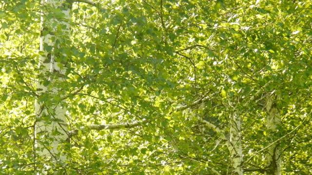 Birch im Wald – Video