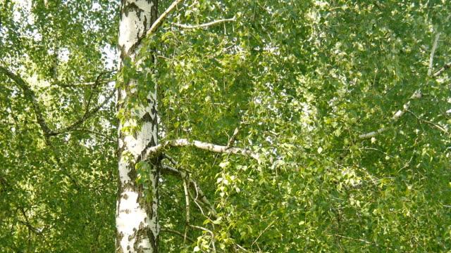 Birken Sie im Wald. – Video