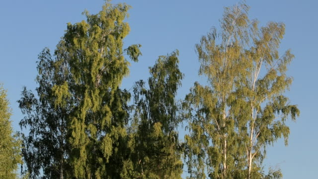 Birch krone in front of clear bright blue sky. video