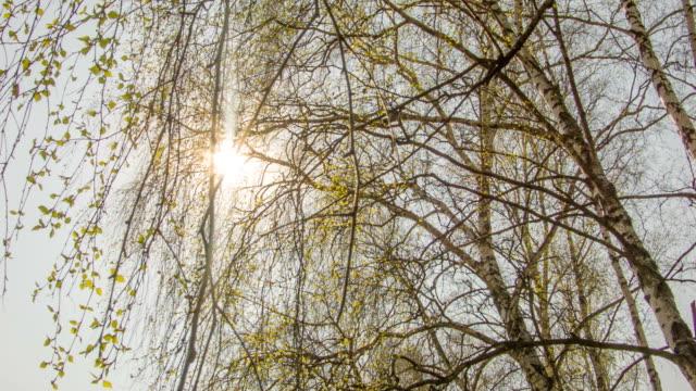 birch spring leaves - bocciolo video stock e b–roll