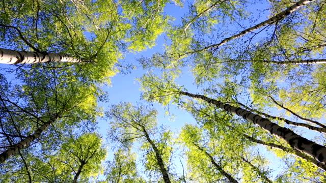 Birch tops in peaceful blue sky, zoom video