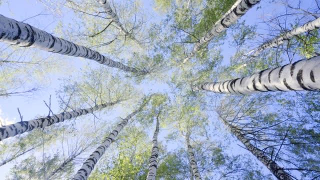 vidéos et rushes de hauts de bouleau dans la forêt de source - vue en contre plongée verticale